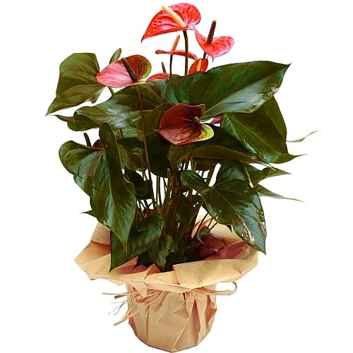 Colorful Flowering Anthurium Plant